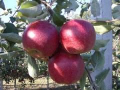Саженцы яблонь Джонагоред