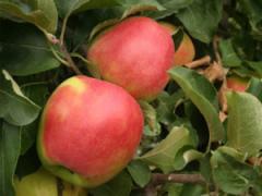 Саженцы яблонь Лиголь