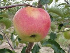Саженцы яблонь Джонаголд