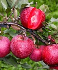 Саженцы яблонь (красномякотные)
