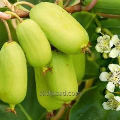 Саженцы киви (актинидия)