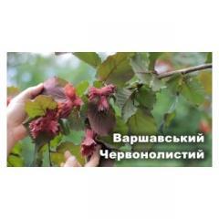 Саженцы фундука Варшавский