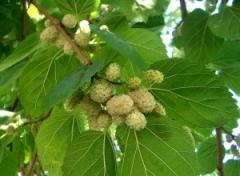Саджанці дерев листяних порід