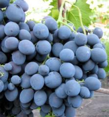Саженцы винограда Страшенский
