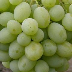 Саженцы винограда Деметра