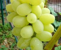Саженцы винограда Флора