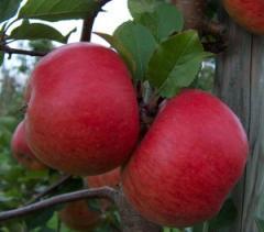Саженцы яблонь ТопазРед