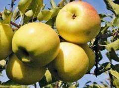 Саженцы яблонь резистентных Орион