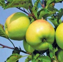 Саженцы яблонь резистентных Луна