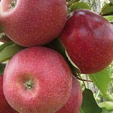 Саженцы яблонь резистентных Ревена