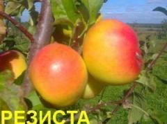 Саженцы яблонь резистентных Резиста