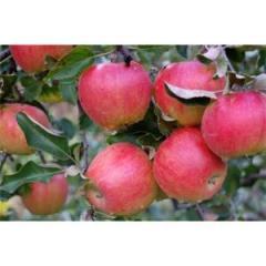 Саженцы яблонь резистентных Эвелина