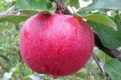 Саженцы яблонь резистентных Райка