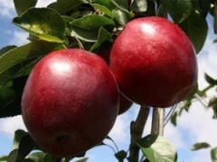 Саженцы яблонь резистентных Моди