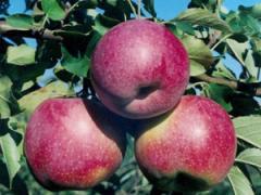 Саженцы яблонь резистентных Флорина