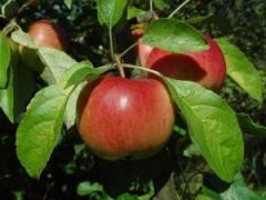 Саженцы яблонь резистентных Прима