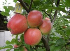 Саженцы яблонь резистентных Эдера