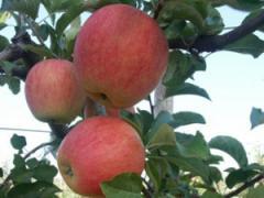Саженцы яблонь резистентных Пинова