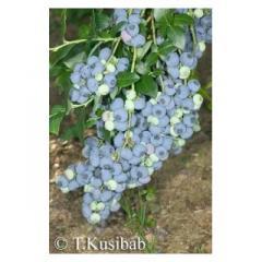 Саженцы черники Bluecrop