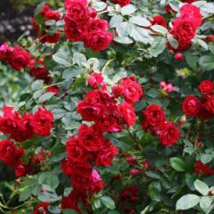 Саженцы роз Фламентанц