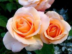 Саженцы роз Версилия