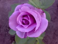 Саженцы роз Голубой Нил