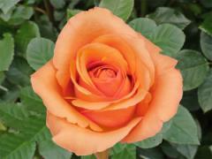 Саженцы роз Милва