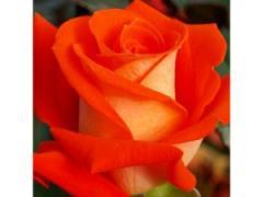 Саженцы роз Верано