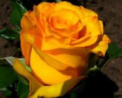 Саженцы роз Кэри