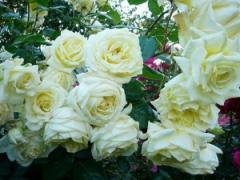 Саженцы роз Ельф