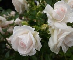Саженцы роз Аспирин