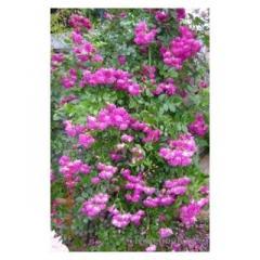 Rose plantlets