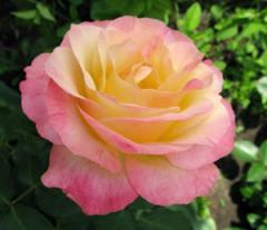 Саженцы роз Глория