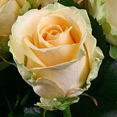 Саженцы роз Пич Аваланч
