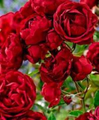Саженцы роз Ред Парфюм