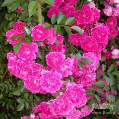 Саженцы роз Эксцельза