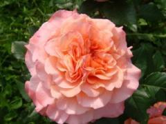 Саженцы роз Августа Луиза