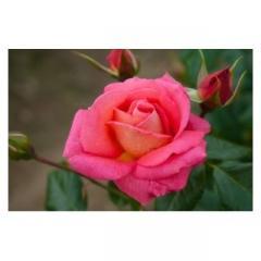 Саженцы роз Шогун