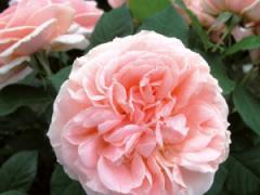 Саженцы роз Максима