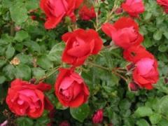 Саженцы роз Колоссаль