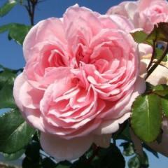 Саженцы роз Синдарела