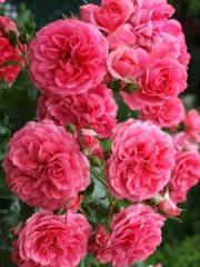 Саженцы роз  штамбових Rosarium