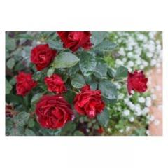 Саженцы роз штамбових HommageaBarbara
