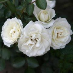 Саженцы роз штамбових Waltz