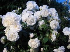 Saplings of roses of shtambovy Schneewittchen