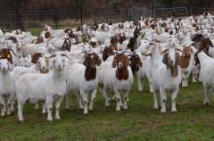 Pure Breed Boer Goats, Live Sheep, Cattle, Lambs