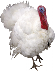 Multifermental feed additive for turkeys