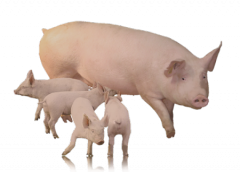 Multifermental additive for sows