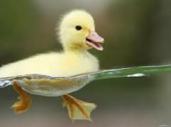 Daily ducklings Mulard, Cherry-velli, Blagovarka