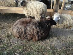 Овечки, живым весом порода цигайская, романовская,